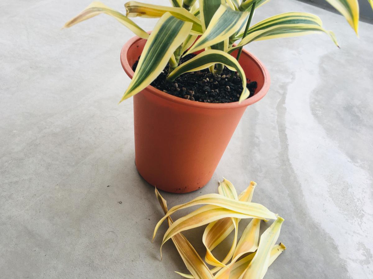 葉っぱ 茶色 植物 観葉